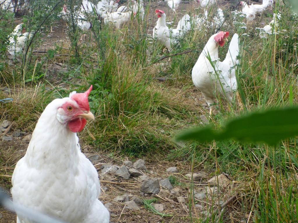 Økologiske høner