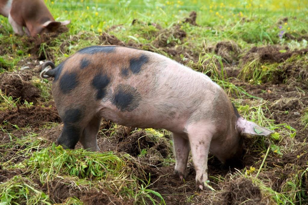 frilandsgris økologisk gris